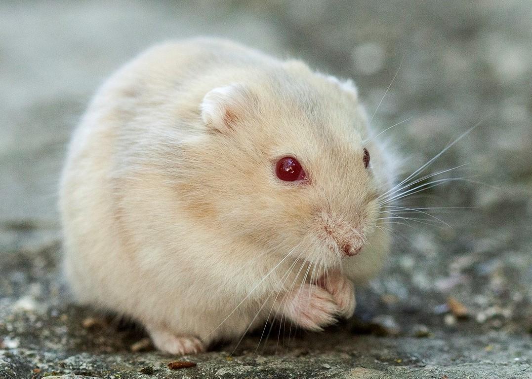 adopter hamster nain paris