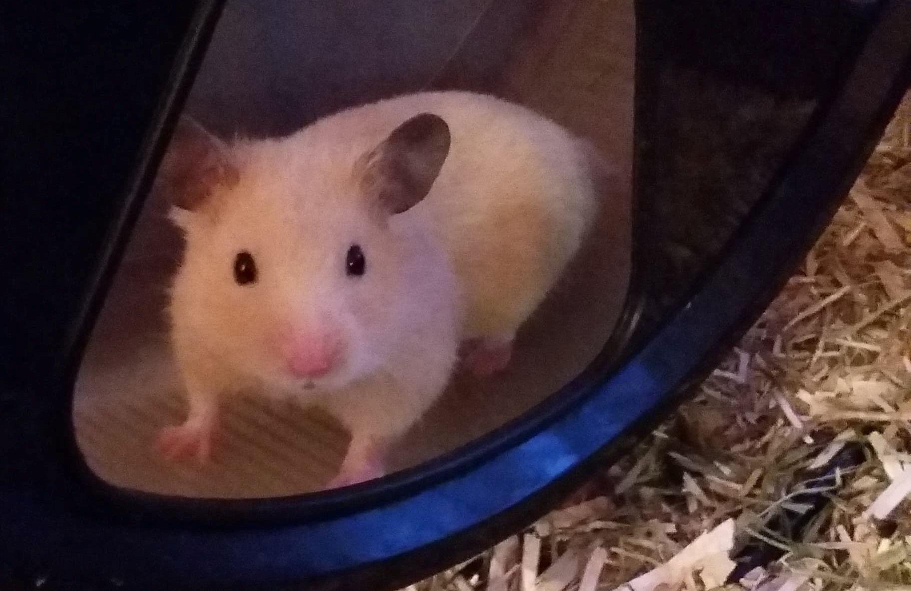 adopter hamster robo normandie