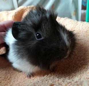 adopter cochon d'Inde mâle Paris