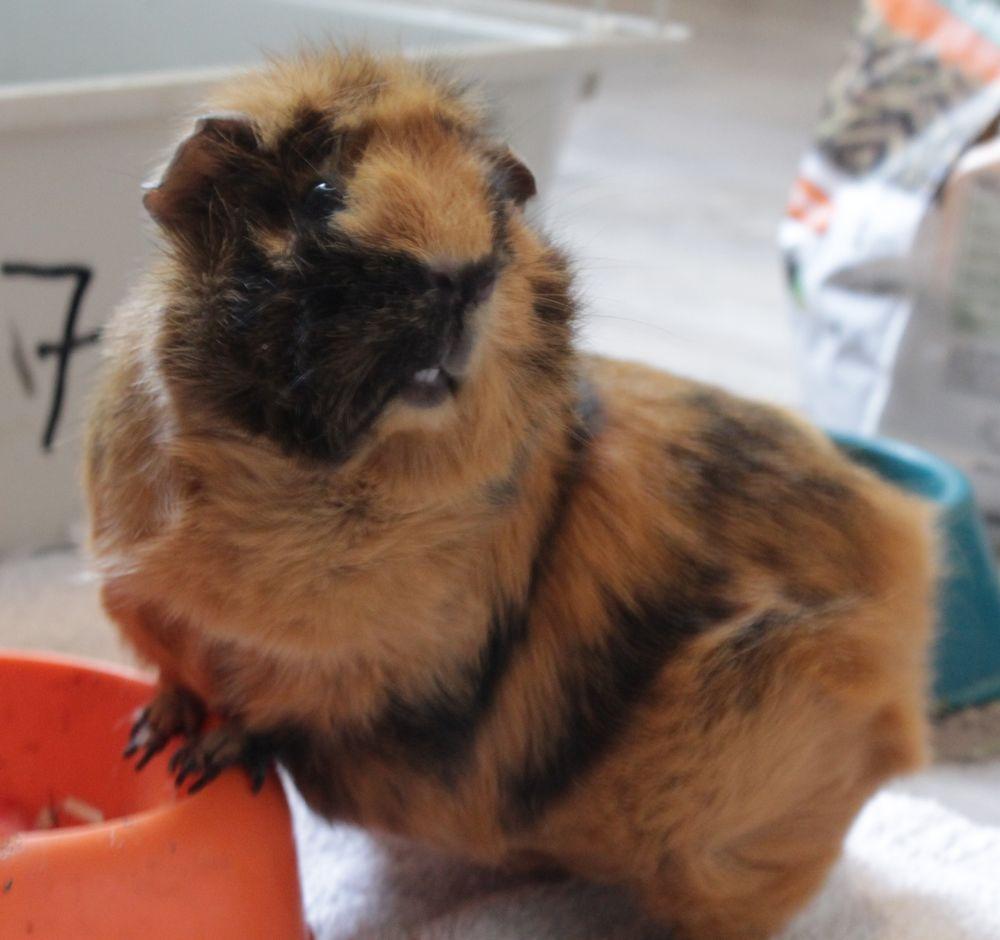 adopter cochon d'Inde femelle paris