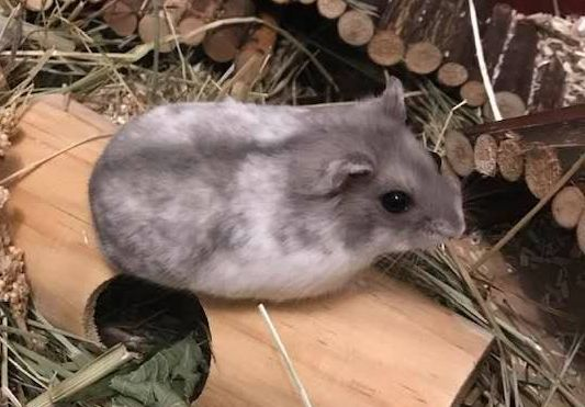 adopter hamster 93