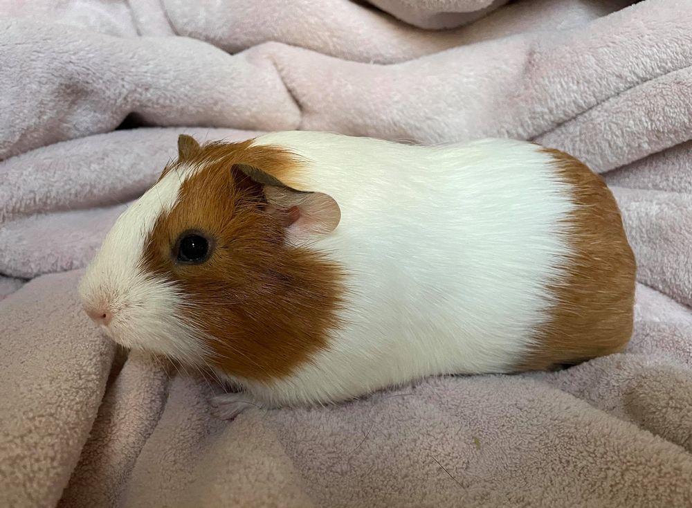 adopter cochon d'Inde mâle calvados 14