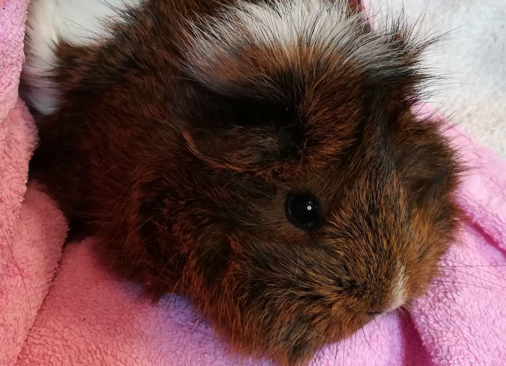 adopter cochon d'Inde mâle normandie