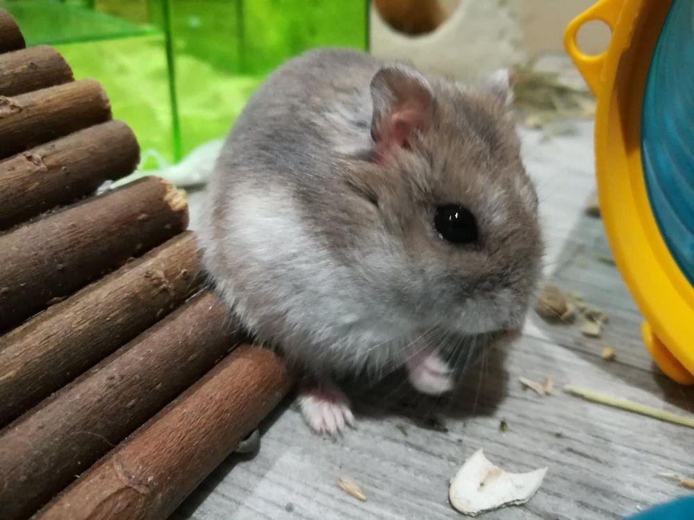 adopter hamster normandie