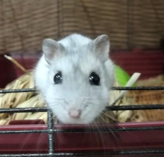 adopter hamster calvados
